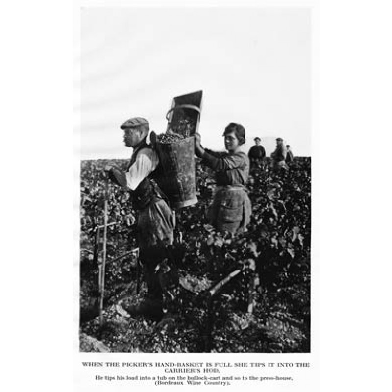 Gathering Grapes, Burgundy