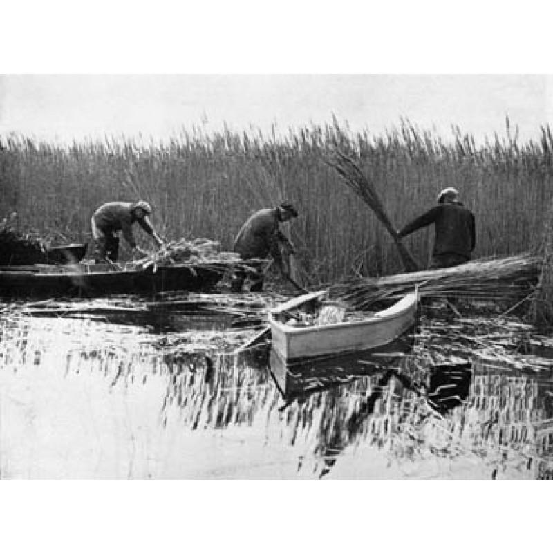 Norfolk Reed Gatherers
